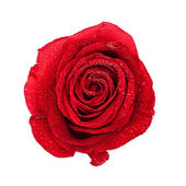 Red Rose Bud — Stock Photo
