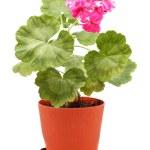 Geranium in Pot — Stock Photo