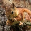 Squirrel with Bread Crust - Stockfoto