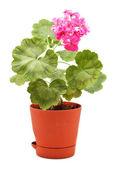 Geranium v hrnci — Stock fotografie