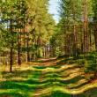 Stock Photo: Way in Pine Forest