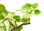 Geranium blad — Stockfoto