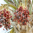 Date palm with branch of dates. - Stock Photo