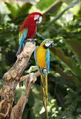 Two parrot in green rainforest. — Stock Photo