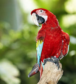Parrot in green rainforest. — Stock Photo