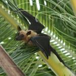 Fruit bat (flying fox) hanging in Tree — Stock Photo #6724296