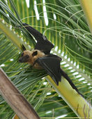 Fruit bat (flying fox) hanging in Tree — Stock Photo