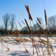 Cattails - Foto de Stock