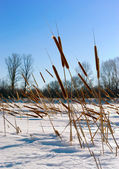 Cattails — Stock Photo