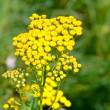Tansy on  meadow - 图库照片