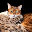 Stock Photo: Pair of bengal kittens in cuddle