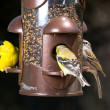 Goldfinch eating from bird feeder — Stock Photo #5425990