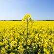 Oilseed rape blossoms — Stock Photo