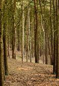 Caminho através de pinheiros — Foto Stock