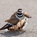 Killdeer bird warding off danger — Stock Photo #5621749