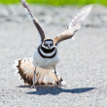 Killdeer bird warding off danger — Stock Photo #5621771