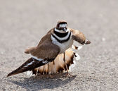 Killdeer bird warding off danger — Stock Photo