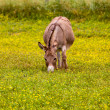Baby donkey in meadow eating flowers — Stock Photo #5900077