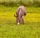 âne de bébé à manger les fleurs de prairie — Photo