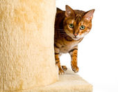 Bengal kitten creeps round corner of climbing frame — Stock Photo