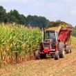 Rows of corn ready for harvest — Stock Photo