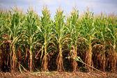 řádky připraven na sklizeň kukuřice — Stock fotografie