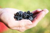 Hand holding a fresh blackberry — Stock Photo