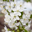 Blossoming branch of a sweet cherry — Stock Photo