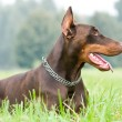 Lying brown doberman pinscher - Foto de Stock
