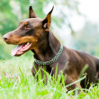 Lying brown doberman pinscher - Lizenzfreies Foto
