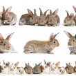 Set of brown baby rabbits — Stock Photo