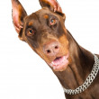 Doberman isolated over white — Stock Photo #5418677