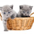Two british kittens in a basket — Stock Photo #5418708