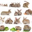 set di coniglietto coniglio marrone isolato — Foto Stock