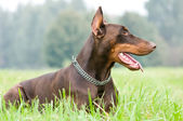 Lying brown doberman pinscher — Stock Photo