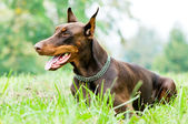 Couché dobermann marron — Photo
