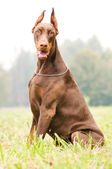 Sitting brown doberman pinscher — Stock Photo