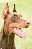 Portrait of brown doberman — Stock Photo
