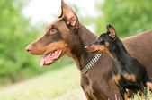 Large and miniature dobermans — Stock Photo