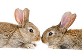Two isolated rabbits face to face — Stock Photo