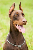 Doberman outdoors — Stock Photo