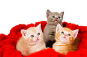 Three cat in velvet — Stock Photo