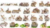 Set of brown rabbit bunny isolated — Stock Photo