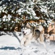 Running husky at snowy winter — Stock Photo