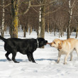 Labrador contest at winter — Stock Photo #5427978
