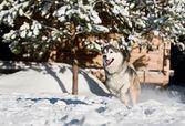 Running husky at snowy winter — Stock Photo