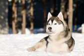 Siberian husky at winter — Stock Photo