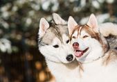 Pair of siberian husky at winter — Stock Photo