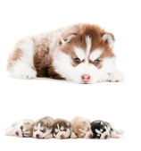Collection of little puppy of Siberian husky — Stock Photo