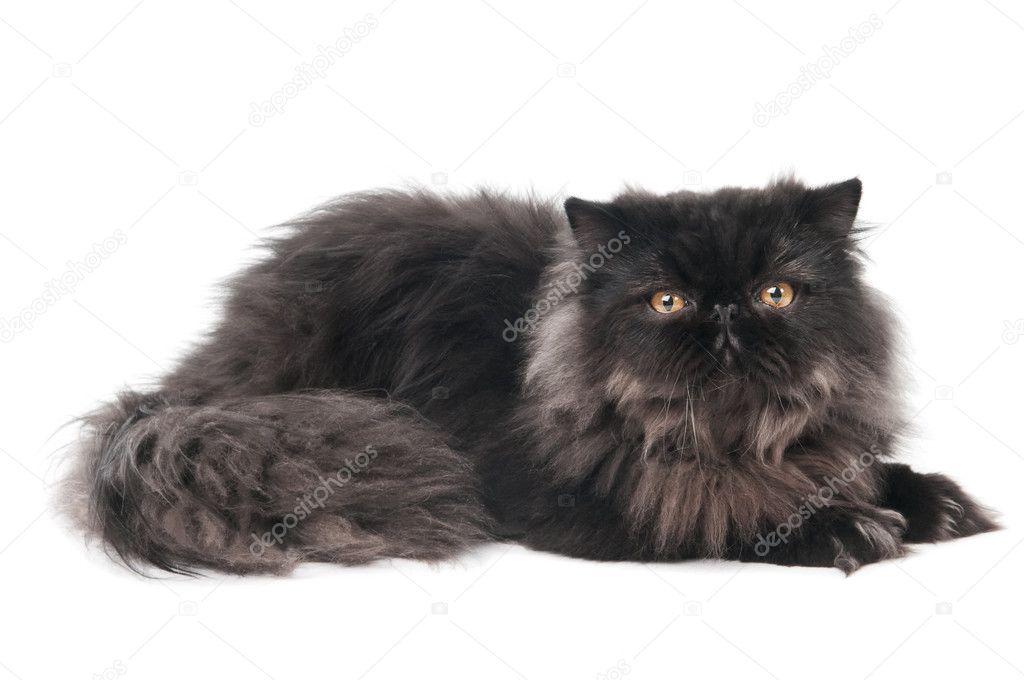 One lying black persian longhair kitten cat isolated on white